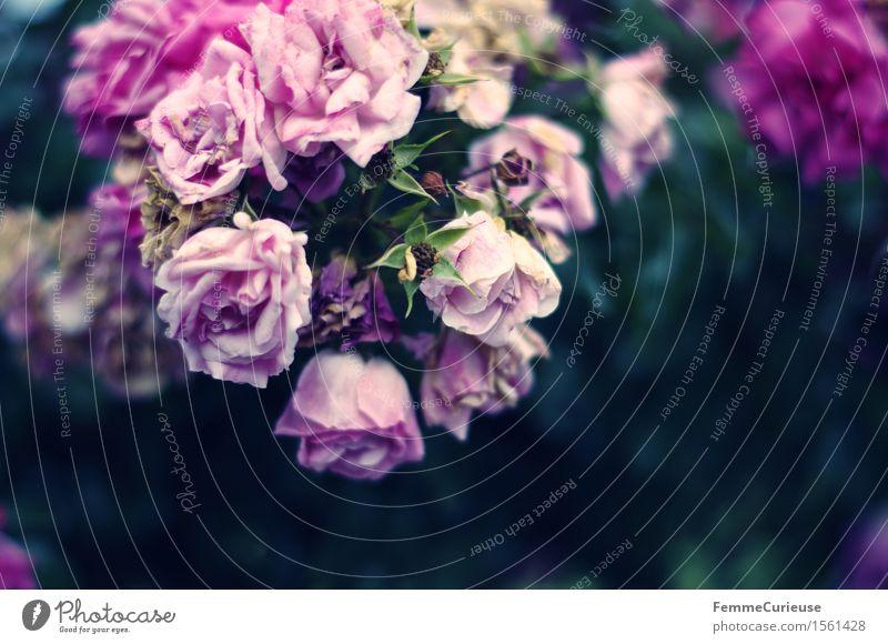 Blütenzauber. Natur violett rosa Rose Blühend welk Blume Rosenblätter Rosenblüte Sträucher Hochzeit Farbfoto Außenaufnahme Textfreiraum rechts
