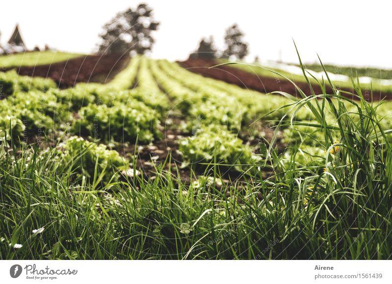 hier ist immer Veggie-Day Gemüse Salat Salatbeilage Vegetarische Ernährung Landwirtschaft Forstwirtschaft Gemüsebau Feld Gärtnerei Gartenbau Feldfrüchte
