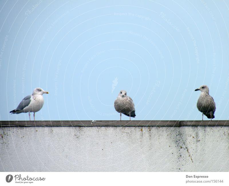 Three Little Birds Himmel blau Meer Küste Vogel Zusammensein 3 Tiergruppe Team Mitte Möwe Außenseiter Psychoterror Silbermöwe