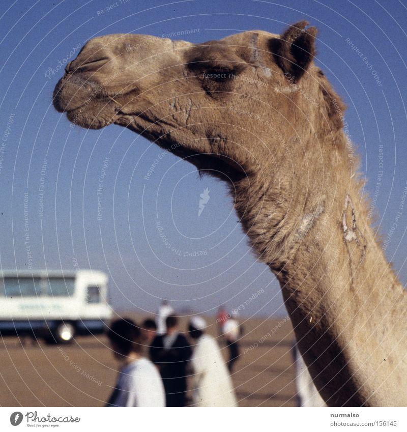 boa, hab ich Durst . . . Mensch Ferien & Urlaub & Reisen Sand Reisefotografie Afrika Wüste Kultur Vergangenheit Säugetier Ägypten Geschichtsbuch Kamel Pyramide Pyramiden Karavane Dromedar