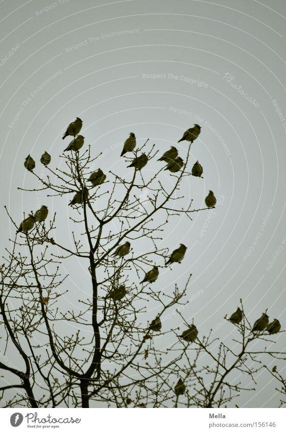 Betriebsversammlung Umwelt Natur Pflanze Tier Baum Baumkrone Zweige u. Äste Vogel Seidenschwänze Tiergruppe Schwarm sitzen natürlich trist grau Singvögel