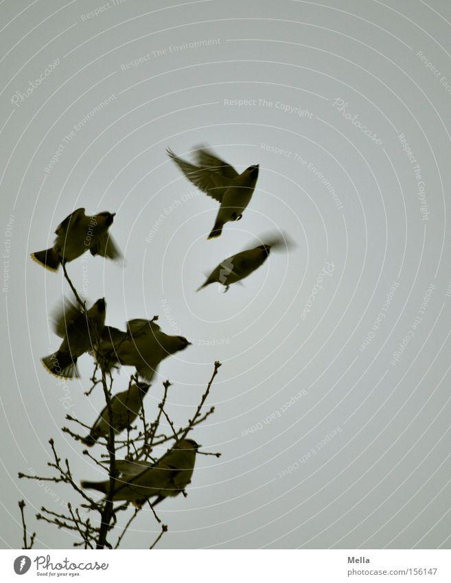 Aufbruchstimmung Natur Baum oben Freiheit grau Vogel Umwelt fliegen frei trist Tiergruppe Flügel Ast natürlich Baumkrone Zweig