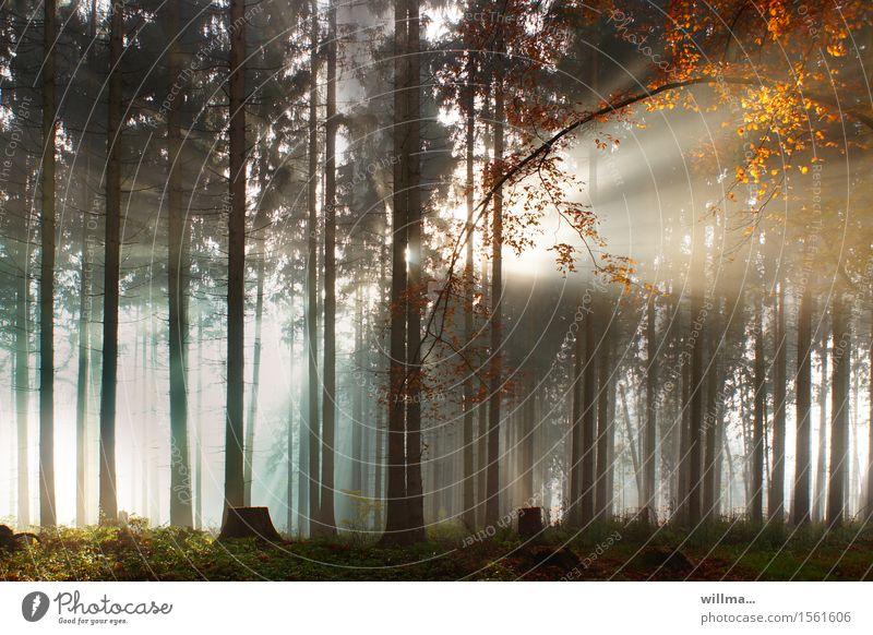 Sonnenstrahlen brechen durch den Wald Landschaft Herbst Schönes Wetter Baum Herbstfärbung Laubbaum Herbstlaub Baumstumpf Nadelwald Natur Naturerlebnis Farbfoto