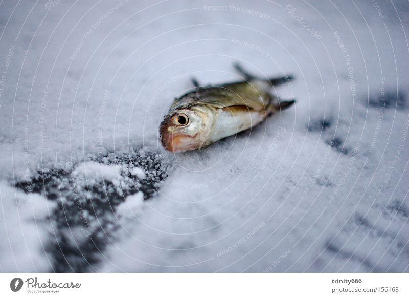 The fish See sentimental Tod Fisch Jüster Eis Schnee