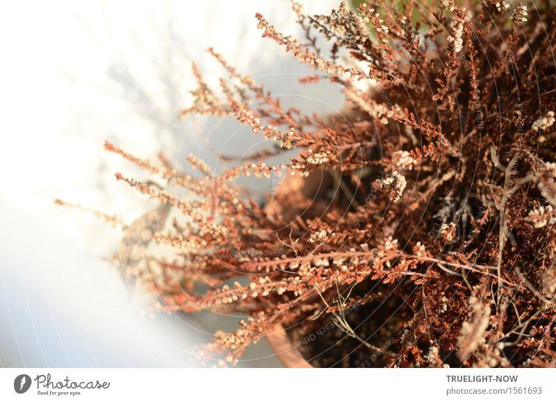 vertrocknet Natur Pflanze Klimawandel Schönes Wetter Wärme Dürre Blatt Blüte Wildpflanze Topfpflanze Winterheide Armut ästhetisch natürlich stachelig trist