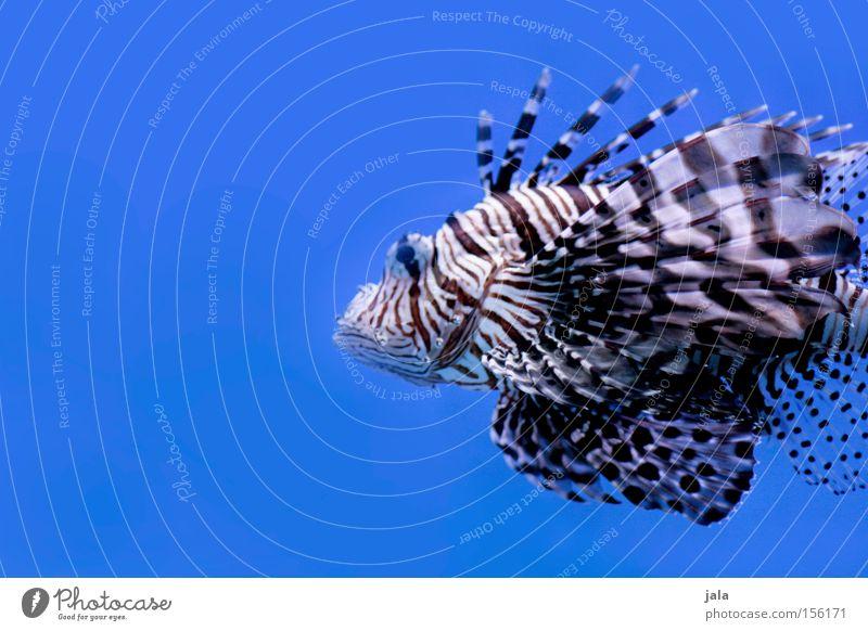 AQUARIUM EXPERIENCE #9 Rotfeuerfisch Fisch Meer Strahlenfeuerfisch Aquarium blau Nahaufnahme Gift Meerwasser Unterwasseraufnahme Wasser