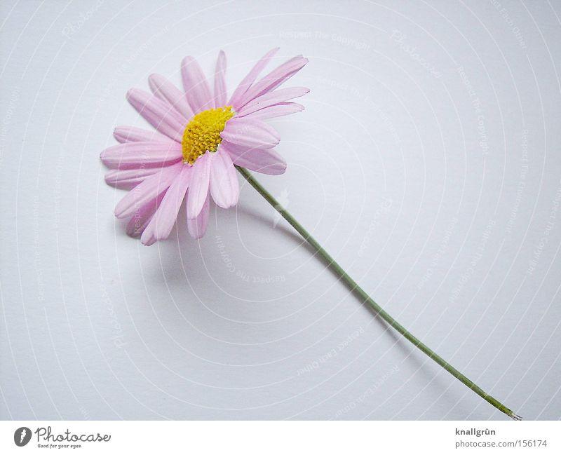 Zart Blume Pflanze Stengel rosa gelb grün weiß Margerite Blühend Frühling schön Rosa Margerite Frühlingsbote