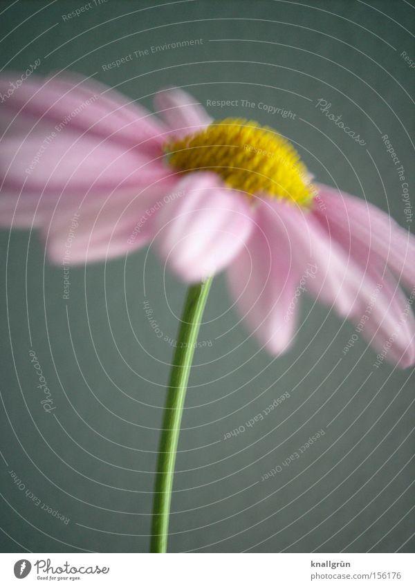 Rosa Margerite schön Blume grün Pflanze gelb Frühling rosa Stengel Blühend