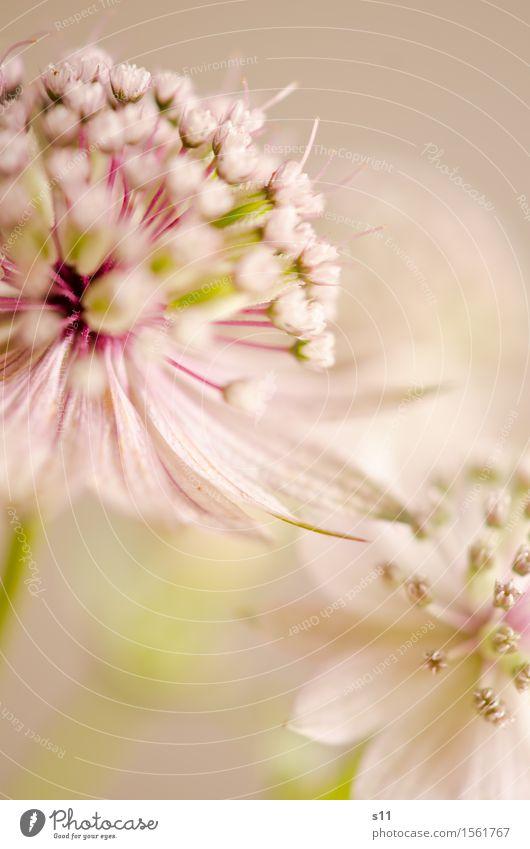 Blümchen Natur Pflanze Blume Blüte Wildpflanze Große Sterndolde Garten Blühend Duft verblüht ästhetisch elegant schön natürlich rund grün rosa weiß Glück
