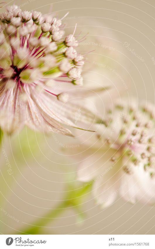 Blümchen II Natur Pflanze grün schön weiß Blume Blüte natürlich Glück klein Garten rosa 2 elegant ästhetisch Blühend