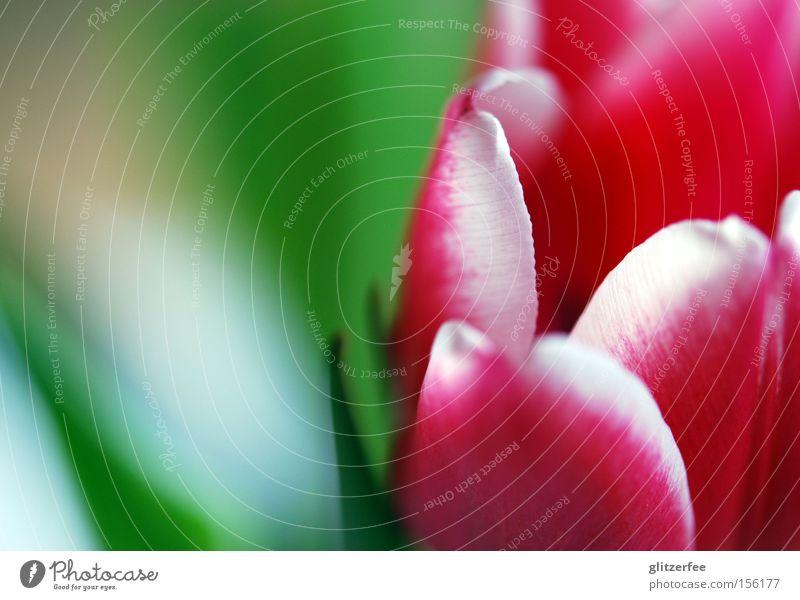 bring me flowers Tulpe Blume Blüte rosa rot grün Hintergrundbild weiß Frühling Blütenblatt Knollengewächse Frühblüher Freude Unschärfe