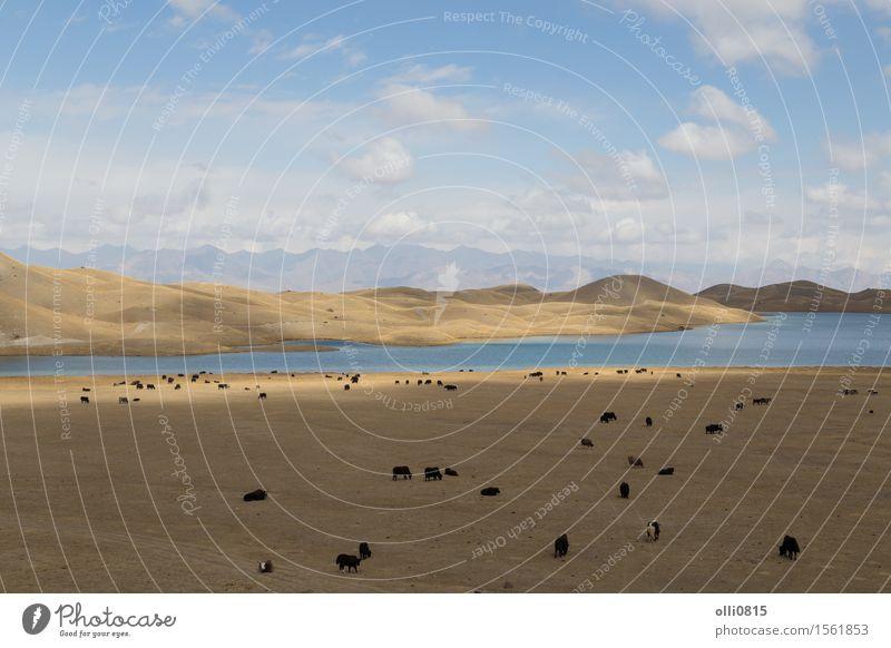 Yaks am Tulpar See in Süd-Kirgisistan weiden lassen Ferien & Urlaub & Reisen Berge u. Gebirge Natur Landschaft Tier Felsen Nutztier Herde Abenteuer Panorama