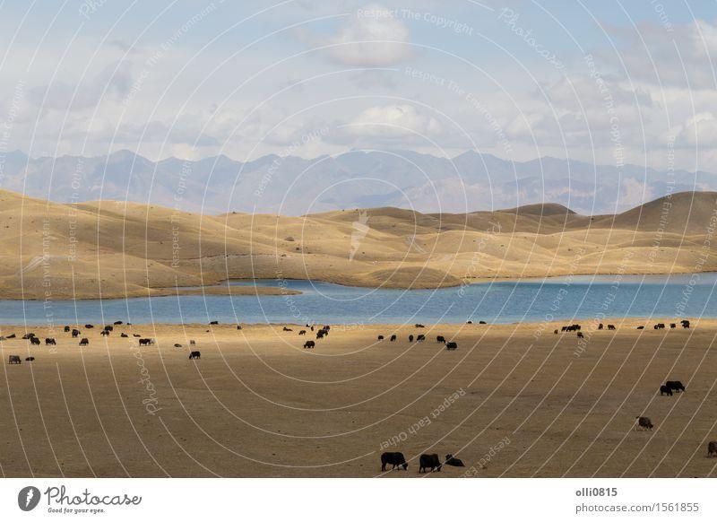 Yaks am Tulpar See in Süd-Kirgisistan weiden lassen Natur Ferien & Urlaub & Reisen Landschaft Tier Berge u. Gebirge Felsen Asien Weide Bauernhof Ackerbau Tal