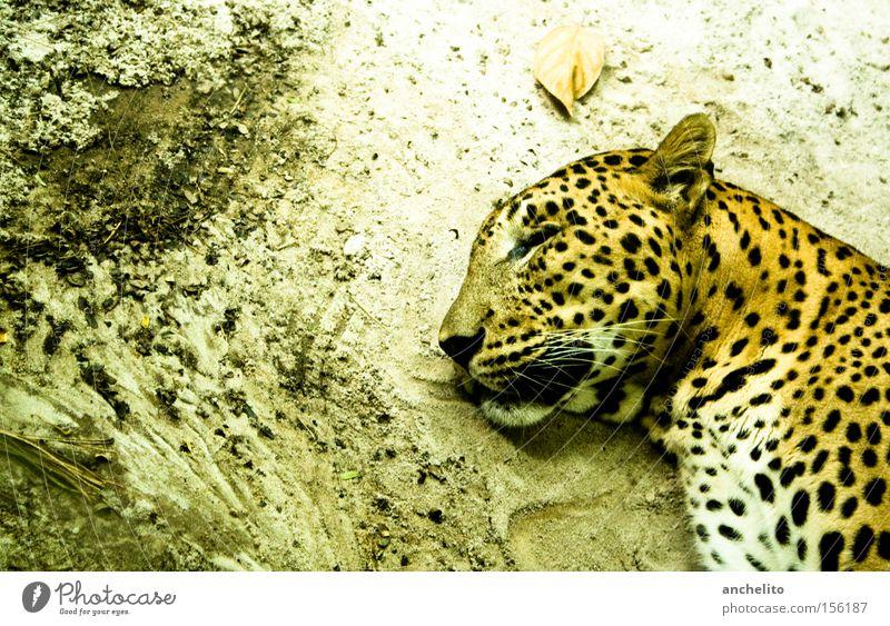 Sleep well, my dear friend! Tierporträt Profil geschlossene Augen Zufriedenheit Erholung ruhig Safari Zoo Wildtier Katze genießen schlafen träumen dreckig Glück