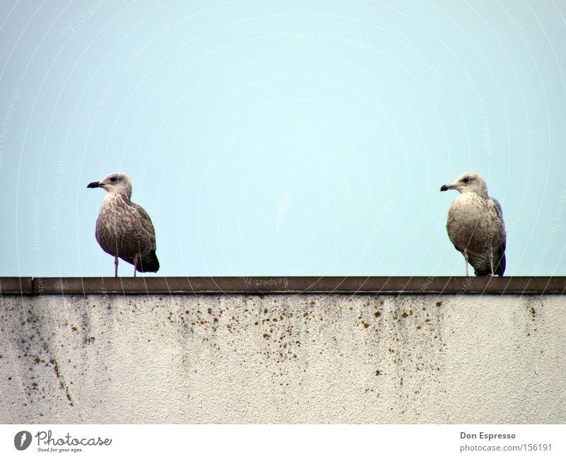 Friends Himmel Meer blau 2 Zusammensein Vogel Küste Tierpaar paarweise Vertrauen Möwe Schnabel gleich synchron Silbermöwe