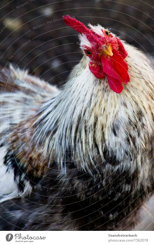Nahaufnahme des Hahns die Kamera gegenüberstellend Natur Tier Sonne Nutztier Vogel Tiergesicht 1 genießen Blick Coolness elegant Freundlichkeit Fröhlichkeit
