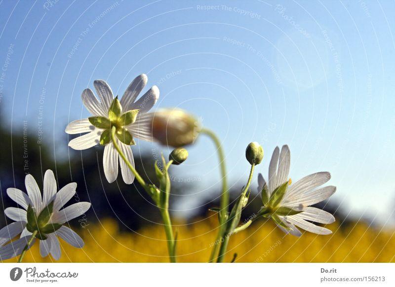 Blumen im Licht schön weiß Sommer gelb Blüte Frühling hell Wachstum Vergänglichkeit Blühend Schönes Wetter Leichtigkeit Blauer Himmel Raps