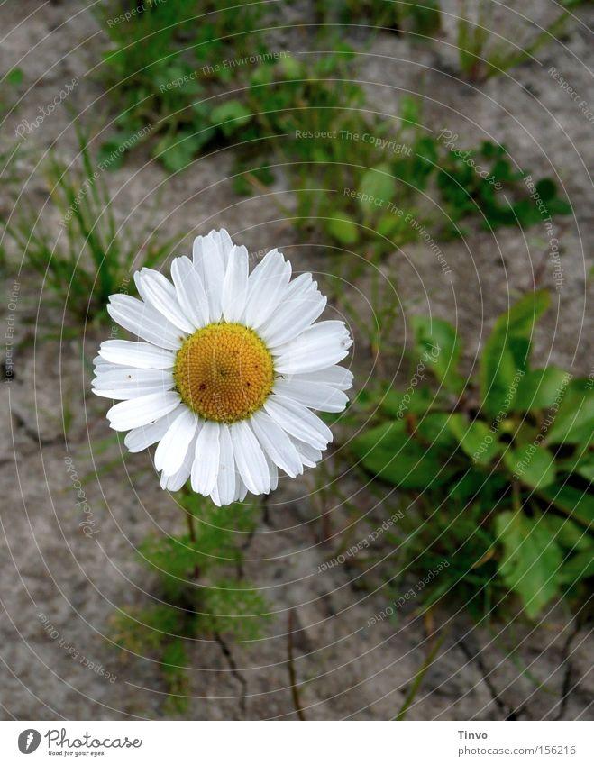 Chamomilla Kamille Feld Heilpflanzen Korbblütengewächs Gesundheit Ödland Pflanze Lehmboden Blütenkörbchen Feld-Kamille Arzneipflanze Unkraut