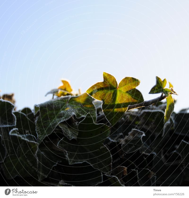 Efeu im Winter Kletterpflanzen Schatten Sonnenlicht Raureif Frost Wintermorgen Blauer Himmel überwintern Immergrüne Pflanzen robust Blatt Eppich Frostränder