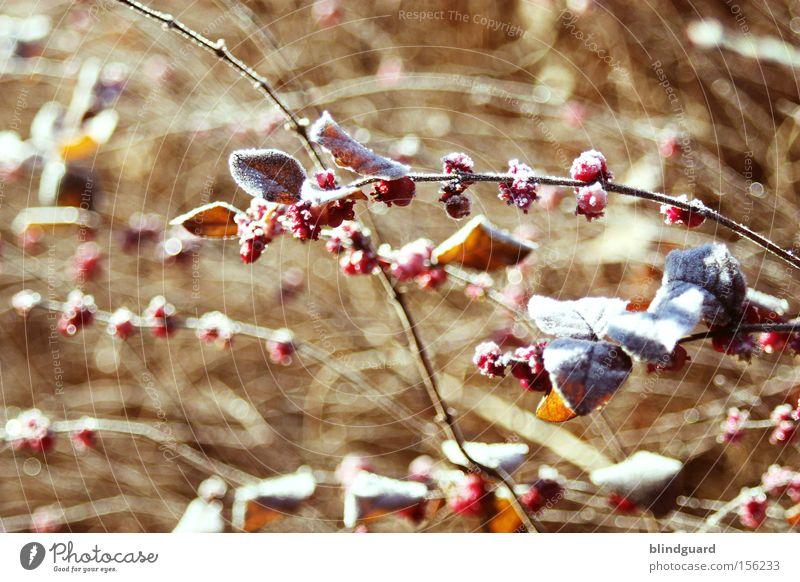 Cold Wintermorning kalt Frost Sträucher Beeren Umwelt Natur Pflanze Blatt frieren Raureif Ast rot Leben Klimawandel Schnee