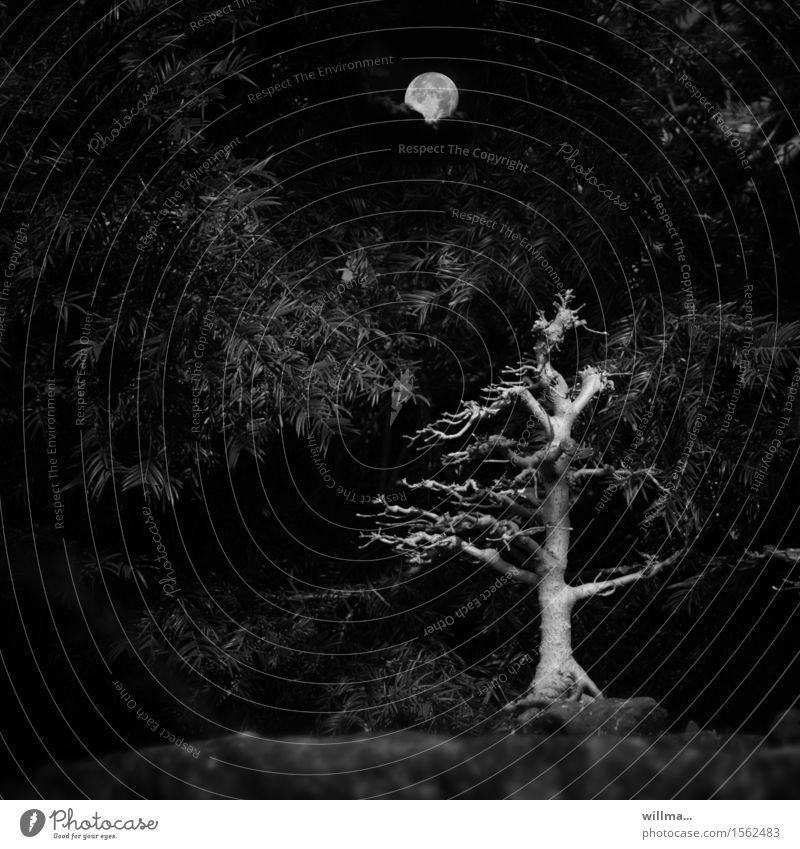 grauselig grausam Mond Vollmond Baum Sträucher Nadelgehölz eigenwillig kahl Bonsai gruselig schwarz Ast Schwarzweißfoto Außenaufnahme Menschenleer Abend Nacht