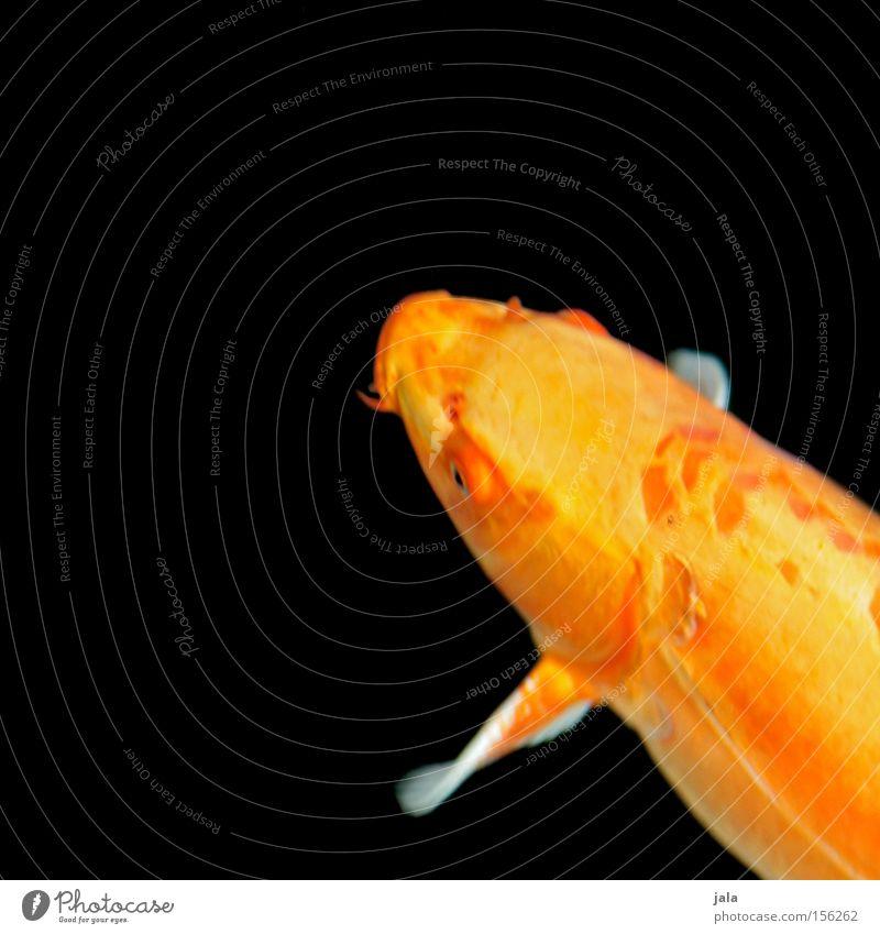straight from japan II Wasser Tier gelb See orange Fisch Japan Teich Koi Karpfen