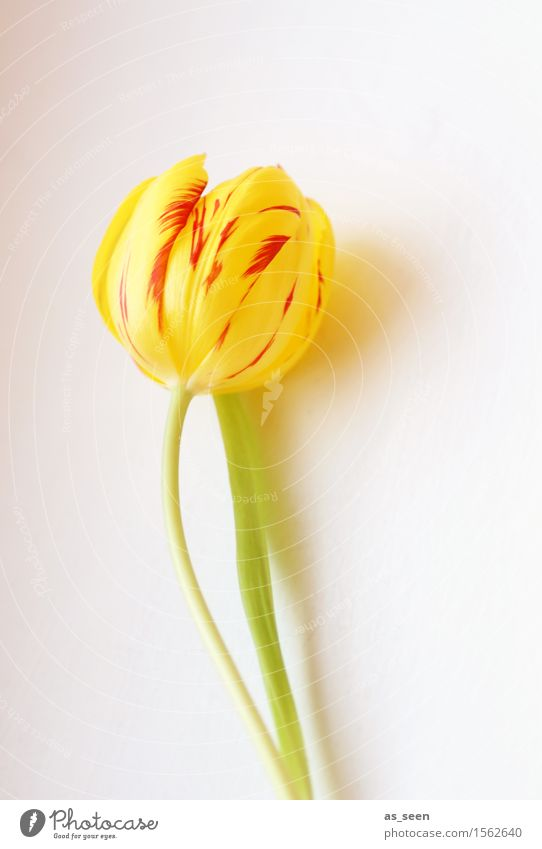 Gelbe Ostertulpe elegant exotisch Wellness Leben harmonisch Garten Dekoration & Verzierung Feste & Feiern Muttertag Ostern Frühling Sommer Blume Tulpe Blatt