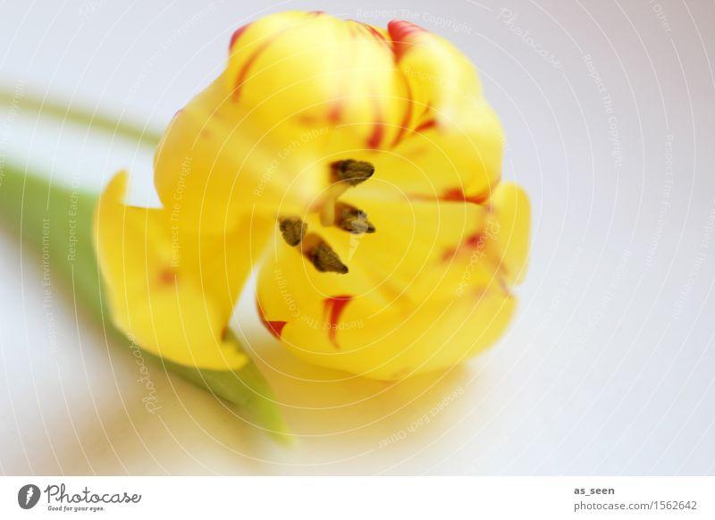 Gelbe Tulpe Natur Pflanze grün Sommer Farbe Blume rot Blatt Umwelt gelb Leben Blüte Frühling natürlich Lifestyle Feste & Feiern