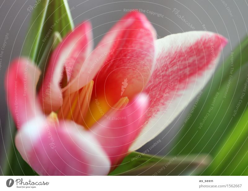 Aufgeblüht Leben Duft Garten Muttertag Ostern Umwelt Natur Frühling Sommer Klima Pflanze Blume Tulpe Blatt Blüte Park Blumenstrauß Blühend Wachstum ästhetisch