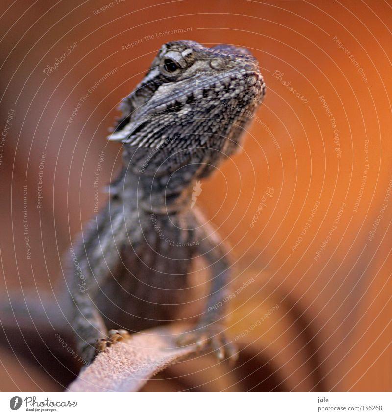 mr. barta Tier braun orange Wüste exotisch Stolz Reptil Echsen Dinosaurier Terrarium Gecko Agamen Bart-Agame
