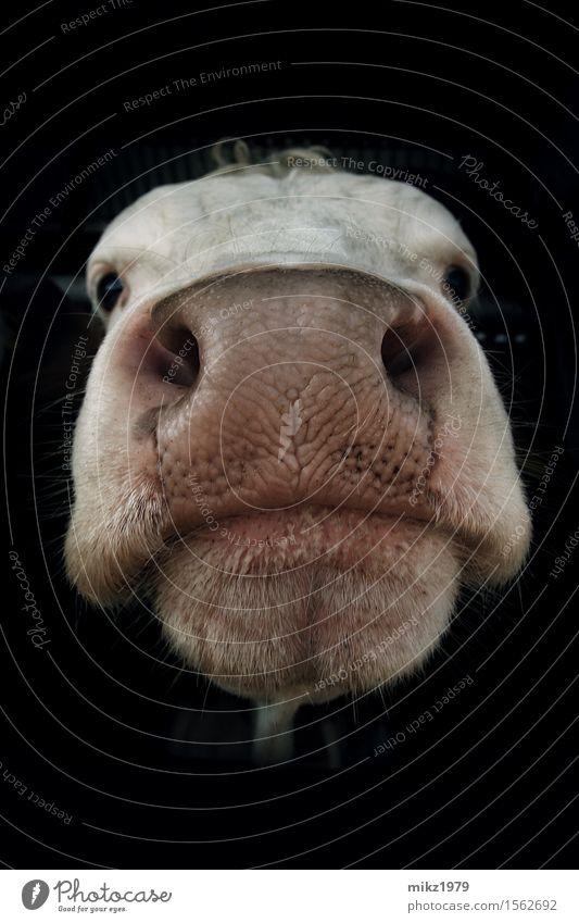 Porträt einer Kuh Natur Sommer Tier Gesicht Auge Gesundheit Kopf ästhetisch Mund Nase Coolness Landwirtschaft nah Bauernhof Fell exotisch