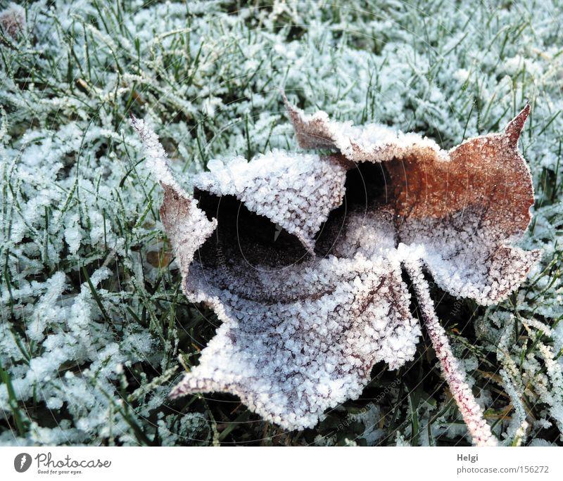 Rauhreif... Winter kalt Raureif Eis Eiskristall Gras Wiese Blatt Frost welk Ahorn Januar Dezember weiß grün Park Vergänglichkeit Helgi Schnee