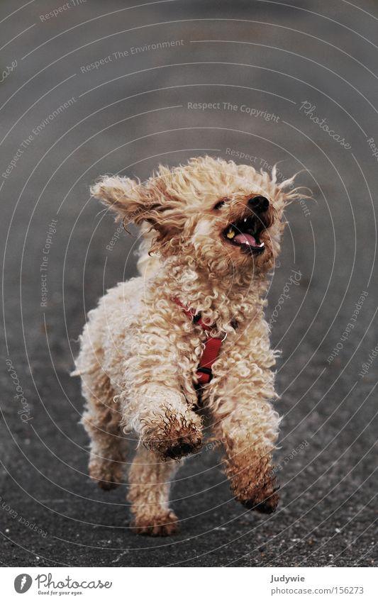 Mit aller Kraft voraus ... Hund Pudel laufen Rennsport Wind Natur Freiheit Locken blond Tier Freude Wildtier wild Spielen frei Geschwindigkeit Säugetier