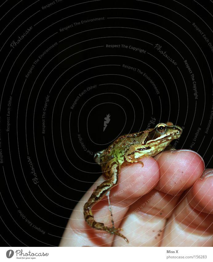 der Prinz Hand Tier Finger Frosch Märchen Laubfrosch schleimig Amphibie Prinz Traumprinz Froschkönig