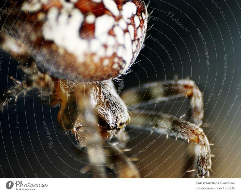 CROSS SPIDER ~Araneus diadematus Farbfoto Außenaufnahme Nahaufnahme Makroaufnahme Menschenleer Nacht Kunstlicht Unschärfe Tierporträt Spinne 1 Kreuz Netz Jagd