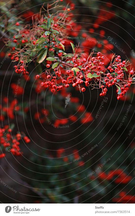 viele rote Früchtchen Umwelt Natur Pflanze Herbst Nutzpflanze Wildpflanze Sanddorn Beeren Beerensträucher Frucht Vogelbeeren Zweig Garten Park natürlich schön