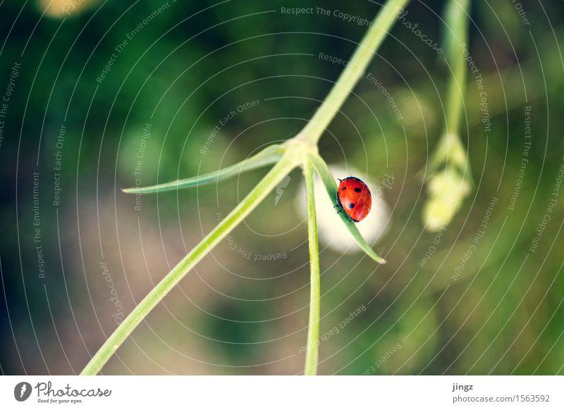 Roter Punkt Natur grün Sommer Farbe weiß rot Einsamkeit Tier Frühling Bewegung entdecken krabbeln Marienkäfer Frühlingsgefühle Grünpflanze Entschlossenheit