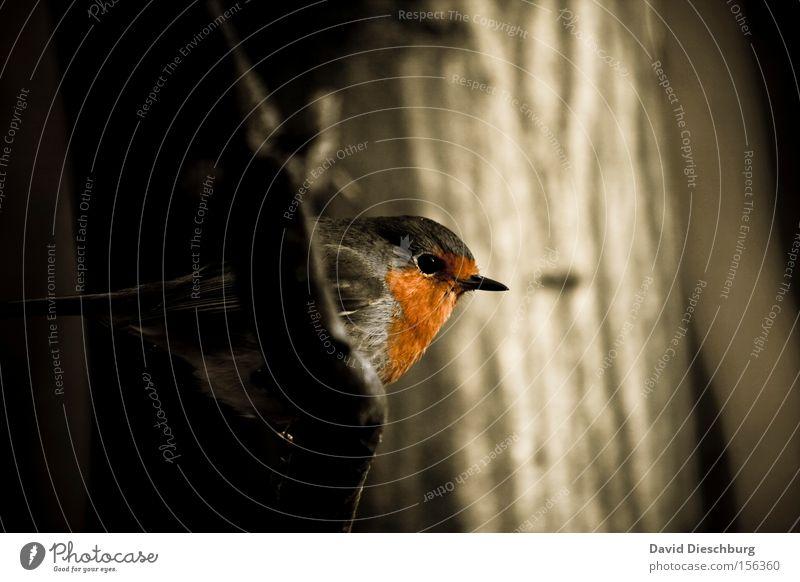 Erithacus rubecula Vogel Rotkehlchen Gesang rot Wald Ast Baum Schnabel Auge Natur Makroaufnahme Nahaufnahme Winter Feder bird Brunft Nestbau