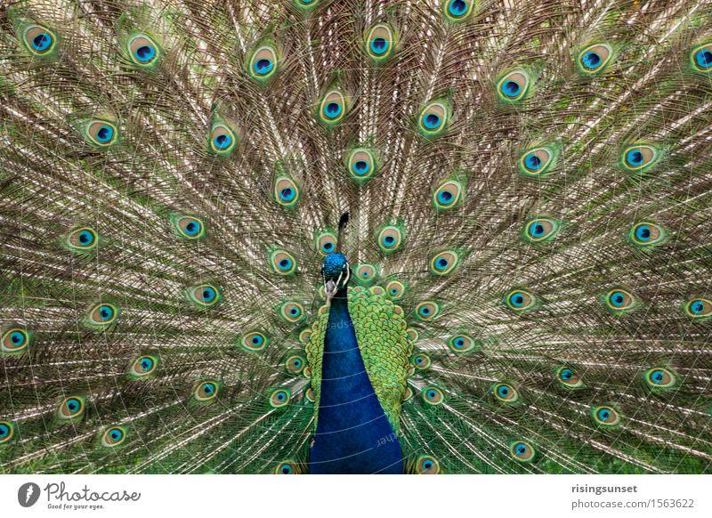 Pfau Zoo Tier Wildtier ästhetisch außergewöhnlich bedrohlich elegant groß blau braun grün türkis Stimmung Tapferkeit Mut achtsam gefährlich Aggression Farbe