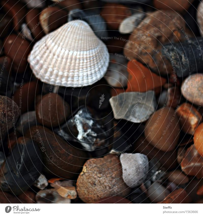 Steinstrand mit einer Muschel an der Nordsee Nordseemuschel Nordseestrand nordisch maritim Strand Steine am Strand viele Steine bunte Steine Bruchstücke