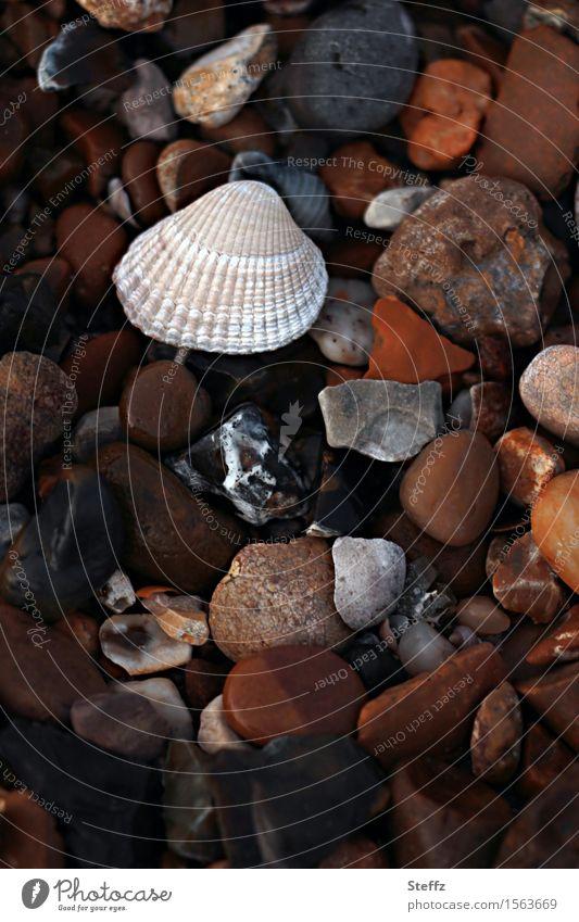 viele Steine und eine Muschel am Strand Nordseestrand Steinstrand nordische Natur Salzwassermuschel Muschelschale am Meer Steine am Strand bunte Steine