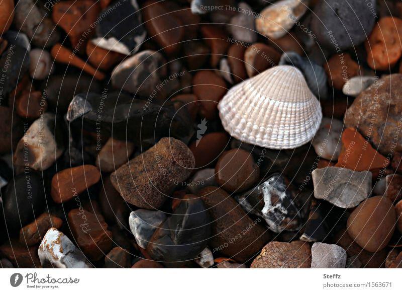 eine Muschel auf dem Steinstrand Steine Steine am Strand Nordseemuschel am Meer Salzwassermuschel Herzmuschel Muschelschale Bruchstücke achtsam Achtsamkeit