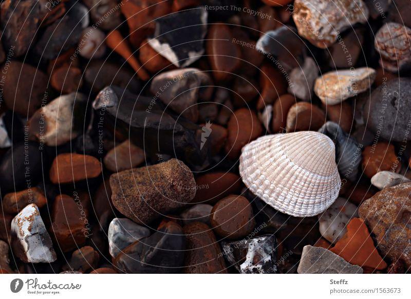 Steinstrand mit einer Muschel Muschelschale Strand Steine Nordseestrand nordische Natur Nordseeküste Herzmuschel Steine am Strand am Meer bunte Steine