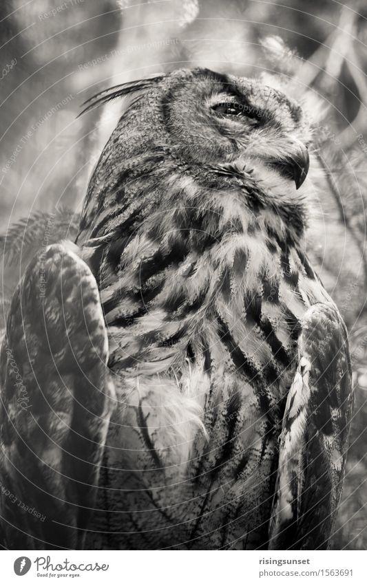 Die Eule Tier Luft Wildtier Vogel Tiergesicht Flügel Zoo 1 beobachten Blick sitzen ästhetisch gruselig schwarz weiß Kraft Macht Wachsamkeit geduldig ruhig