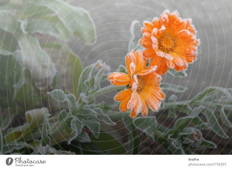 erster Novemberfrost Blume grün Pflanze Herbst Blüte Garten Park Eis 2 Beleuchtung orange Nebel Hoffnung Trauer Frost Vergänglichkeit