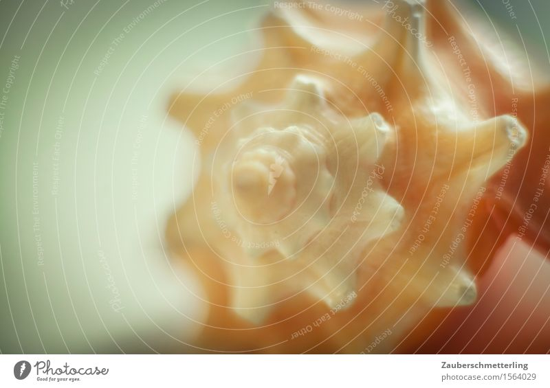 Fibonacci Muschel ästhetisch nah natürlich feminin Präzision Schutz Wachstum bling Goldener Schnitt Korallen Meeresboden Zahnrad Windung Panzer Gedeckte Farben