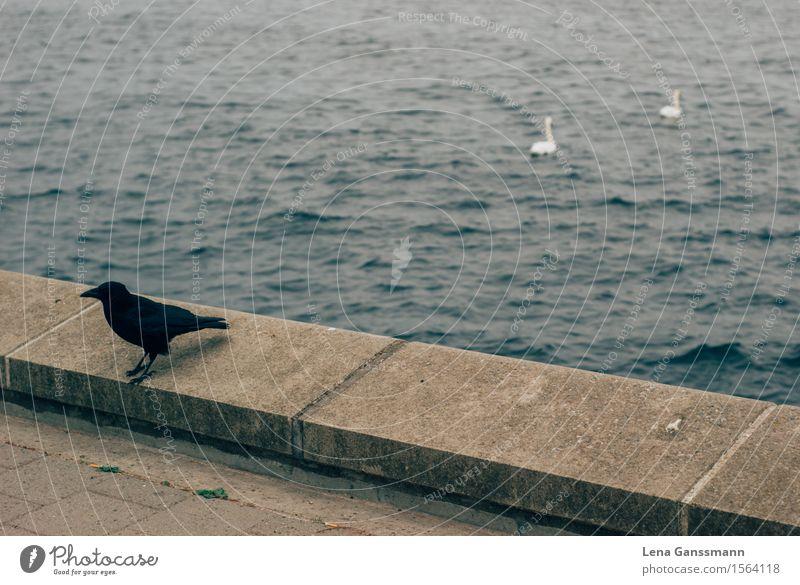 Black and White Tier Wildtier Schwan Flügel Rabe Krähe 3 Bewegung gehen Schwimmen & Baden Konflikt & Streit Traurigkeit bedrohlich einzigartig maritim Klischee