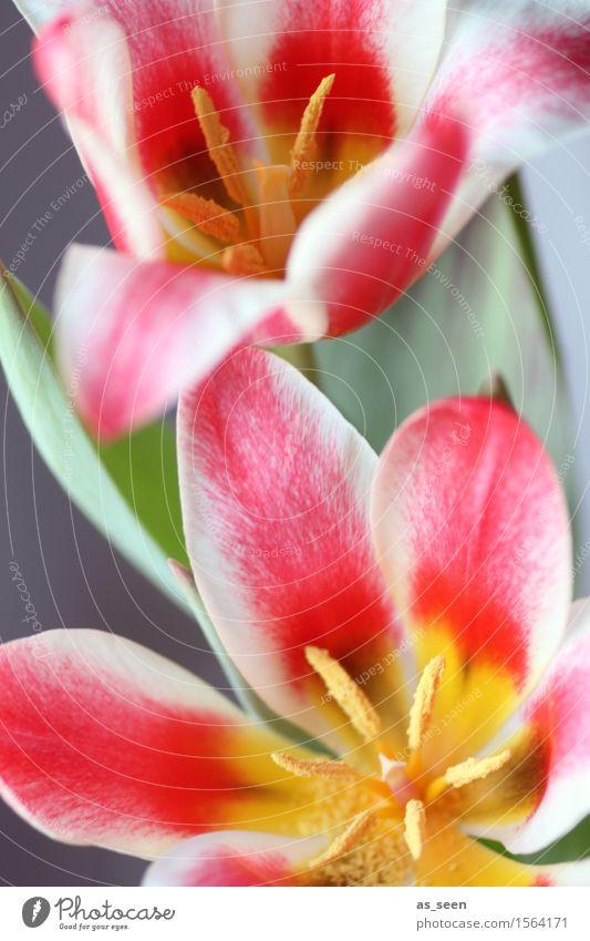 Blütenpower Leben harmonisch Ostern Umwelt Natur Pflanze Frühling Tulpe Blütenblatt Staubfäden Stempel Pollen Blumenstrauß Blühend leuchten Wachstum ästhetisch