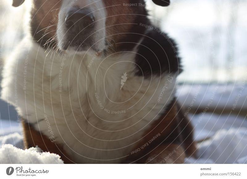 Schneehund weiß Winter ruhig Tier schwarz kalt Schnee Hund Wärme braun warten liegen Nase niedlich weich Tiergesicht