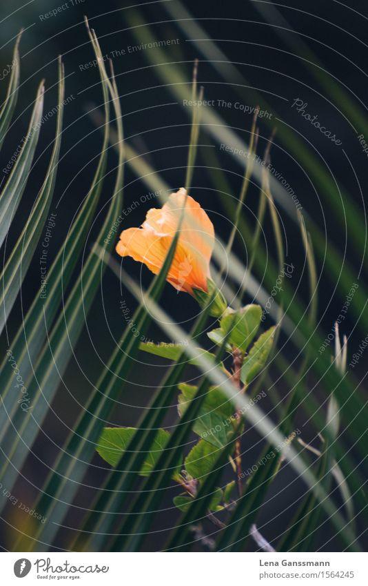 Orangene Hibiscusblüte hinter einem Palmenblatt Natur Pflanze Sommer Blatt Blüte Palmenwedel Garten La Palma Spanien Europa Blühend leuchten Wachstum Gesundheit